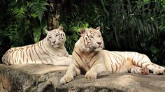 Tiger White Backgrounds Group  1920×1080 Tiger White Backgrounds (33 Wallpapers) | Adorable Wallpapers