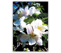 Der blühende Apfel - http://www.1agrusskarten.de/shop/der-bluhende-apfel/    00007_0_1531, Apfel, blühen, Blüte, Frühling, Garten, Grußkarte, Klappkarte, Sommer00007_0_1531, Apfel, blühen, Blüte, Frühling, Garten, Grußkarte, Klappkarte, Sommer