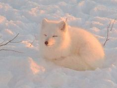 Artic fox enjoying winters warmth. - from THE FAIRY SWAN