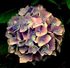 Vintage Pink Hydrangeas - these are lovely and remind me of my wedding bouquet!