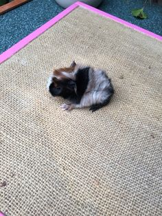 Tiny little baby guinea pig, roan Abyssinian