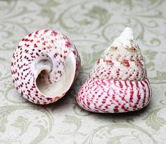 """Strawberry Top Trochus Seashell 2-3""""   1 pc. – Atlantis Shell Co."""