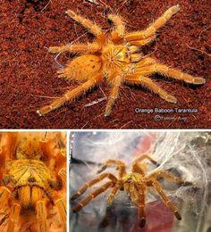 Orange baboon tarantula