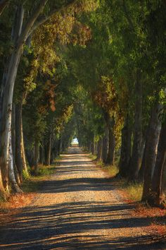 The way of the eucalyptus, Tuscany, Italy