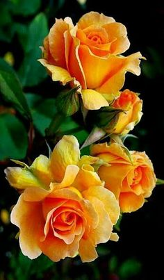 Beautiful Yellow Roses.