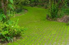 Moss As Lawn Substitute: How To Grow A Moss Lawn. Tips in this article will help you create a low-maintenance alternative to grass for shady areas in your yard.