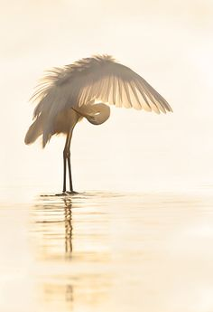 Great Egret, Moronis sea, Crete