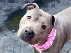 TO BE DESTROYED - 02/06/15 Manhattan Center -P  My name is CASEY. My Animal ID # is A1026104. I am a female blue and white american staff mix. The shelter thinks I am about 6 YEARS old.  I came in the shelter as a STRAY on 01/22/2015 from NY 10459, owner surrender reason stated was OWN ARREST.