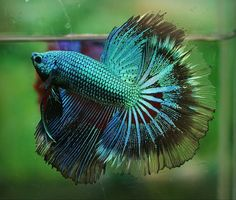 Peacock coloured fighting fish