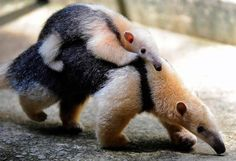 Ant-eater momma and baby