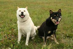 Hokkaido Ken, or Ainu dog. Bear hunting dog from the mountains of japan. Shiba Inu, Hokkaido Dog, Different Types Of Dogs, Rare Dog Breeds, Bear Hunting, Japanese Dogs, Crazy Dog Lady, Akita, Livestock
