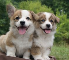 Corgis- the one floppy ear melts my hart every time!