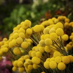 Billy Buttons, could you be an annual?
