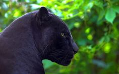 Black panther Animal desktop wallpaper download