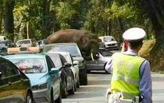 PEKÍN. Las autoridades del sur de China se afanan para controlar a un elefante salvaje que ha sembrado el caos en la región, al cruzar los límites de la reserva en la que habita y perpetrar tres ataques contra vehículos aparcados de turistas.