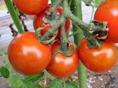 毎日雨ばかりで、畑は最悪の状態です。 トマトは赤くなる前に割れてくるし、あれ程元気だったズッキーニも しょぼしょぼで実が出来てきません。 まあこのこ...