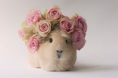 My Typical Day As Boo Boo The Adorable Guinea Pig  ... see more at PetsLady.com ... The FUN site for Animal Lovers