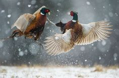 Polish Pheasant fighting. Photo by RICARDO PERALTA - Two male pheasants fighting in the snow
