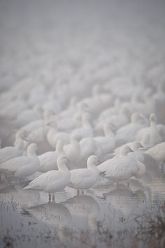 Snow Geese As Far As The Eye Can See by howardignatius on Flickr.