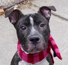 BORI - A1100547 - - Manhattan  Please Share:TO BE DESTROYED 01/05/17 **ON PUBLIC LIST** A volunteer writes: From my own encounter as well as from outstanding volunteers' comments on his walking log, I can fairly say that Bori is a very pleasant youngster to spend time with. He is calm and collected in his kennel and accepts the leash easily. Bori is a good looking young man, still with a puppy face although his body is all grown up. I love his dotted scarf, bib, mitte