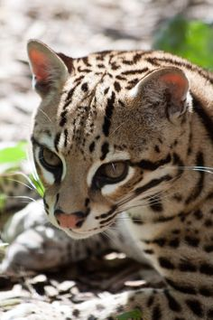 "llbwwb: "" Portrait of an Ocelot (by CMGW Photography) "" Small Wild Cats, Big Cats, Cool Cats, Ocelot, Domestic Cat Breeds, Gato Grande, Power Animal, Majestic Animals, Cat Boarding"