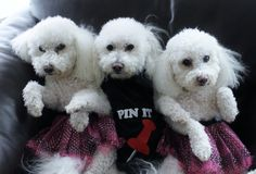 Mom and her kids getting pinned! Beautiful Bichons.