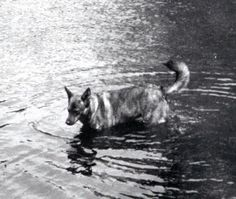 E017 Vintage 1940's Photograph Dog Canine in Water German Shepard Mix | eBay