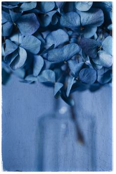 Blue Hydrangeas by Jeff Stanford