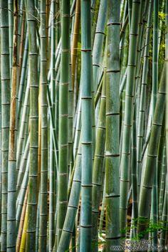 Bamboo forest at Kyoto´s Inari shrine, Japan