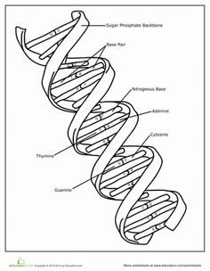 Introduce Your Child To The Building Blocks Of Life Dna This Coloring Page Features A Double Helix Structure Or Strand