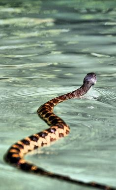 Yeah, we swim. Go ahead, freak out still want to flaot the rivers of MT ? Curious Creatures, All Gods Creatures, Beautiful Creatures, Animals Beautiful, Scary Snakes, Sea Snake, Colorful Snakes, Snake Venom, Reptiles And Amphibians