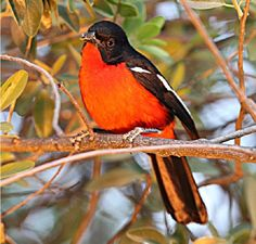 Crimson-breasted Bushshrike