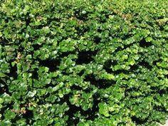 Carissa grandiflora'Boxwood Beauty'