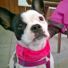 Die süße Maja hat einen Loop bekommen! Frauchen fand, dass ihr ein Hundeloop mit Sternchen in Pink am besten steht. Maja bereitet sich auf ihre Begleithundeprüfung vor und trainiert Obedience. Diesen Hundeloop und andere Designs findest du hier: http://www.fiveneeds.de/store/hund/ausruestung/ im FIVE NEEDS Online-Store