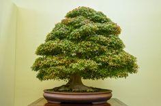 Japanese maple 'Kiyohime'...