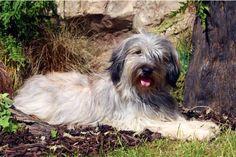 catalan sheepdog photo | Starwell Kennels Catalan Sheepdog Mei the Catalan Sheepdog Page