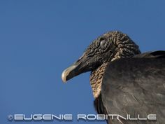 Vulture profile portrait