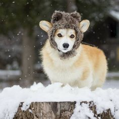 """Ellie and Teddy (@ellielovesteddy) on Instagram: """"So thankful for this batch of light and fluffy snow to romp in! #Ellie #snow #corgi"""""""
