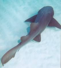 The 16th Largest Shark: Nurse shark (Ginglymostoma cirratum) 14.11 feet via @Discovery Channel @Shark Week