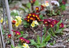 Find the right spot in your garden for primroses. It may seem obvious but success depends on the basics, like learning how to identify the ideal growing conditions for the particular species you are planting.  Take an analysis of your garden, you'll want to find places that might be perfect for primroses.