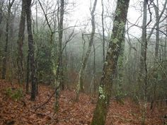 Lichen-covered trees on Thomas Divide Trail, Great Smoky Mountains