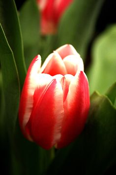 tulips :: 3
