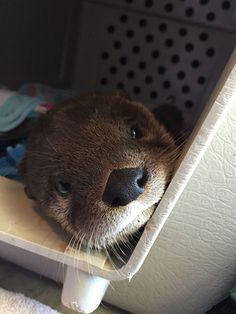 Baby Otter Loves Snuggling With Stuffed Animals — Then Drowning Them