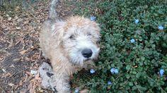 Marshall Soft Coated Wheaten Terrier | Pawshake
