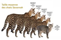 The Savannah is a hybrid domestic cat breed and it is one of the newest and most exciting cat breeds. Bengal Cat Breeders, Serval Cats, Bengal Kitten, Savannah Cat For Sale, Savanna Cat, Domestic Cat Breeds, Exotic Cats, Exotic Fish, Photo Chat