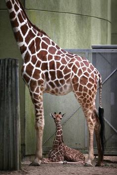 The latest arrival at Brookfield Zoo is a baby giraffe, tall and weighing 173 pounds.Jasiri, a giraffe, gave birth to a baby boy on June The zoo released Zoo Pictures, Animal Pictures, Zoo Animals, Cute Animals, Animal Fun, Illinois, Four Day Weekend, Brookfield Zoo, Beautiful Creatures
