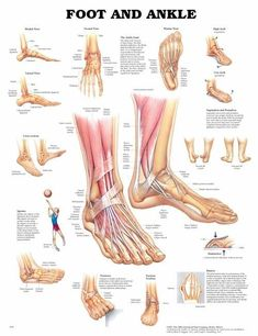 Foot and ankle anatomy.