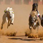 Greyhound Racing Officially Banned in Australia's Capital City, Canberra. #australia #vegannews #animalrights #animalwelfare #greyhoundracing