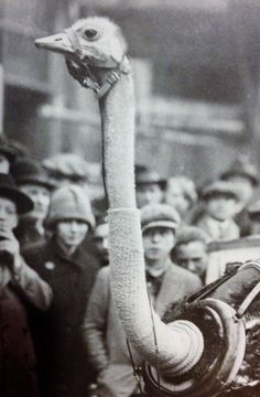 """An ostrich, with its neck bandaged against the cold, sets out to pull a light cart, 1930 (from Getty Images' book """"Decades of the 20th Century—1930s"""" by Nick Yapp, scanned by WeirdVintage)"""