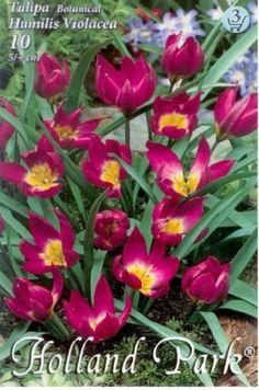 Tulipa humilis Violacea - Botanikai tulipán Holland Park, Plants, Plant, Planets